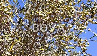 Maslinik  sa 70 maslina – Vrsi *prvi red do građevinske zone*  (ID-2073)